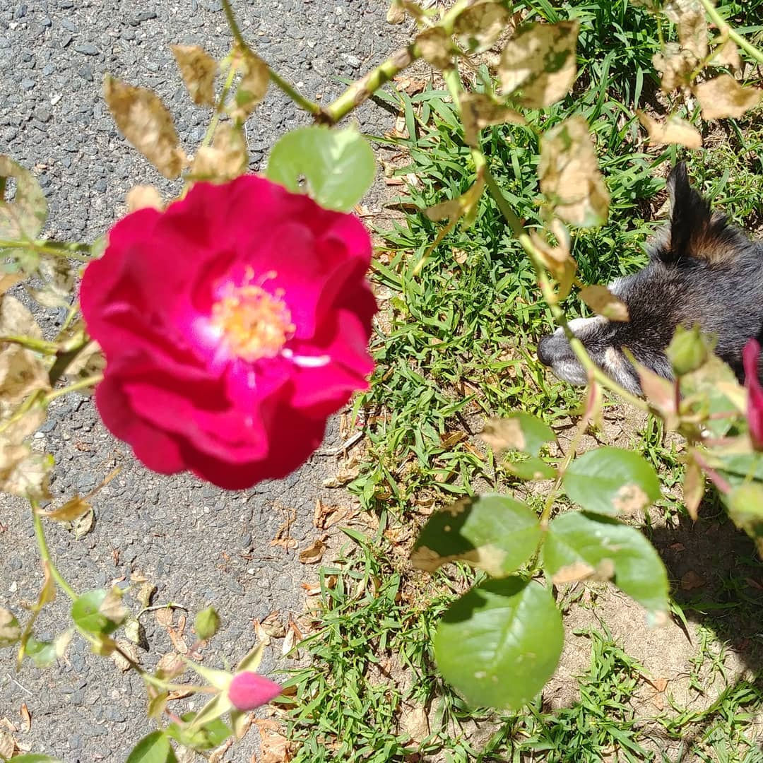 Chip is dwarfed by one of our blooming roses.
